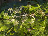 Fatsia Japonica in Flower (Botanical) Muursticker van Henri Silberman