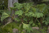 Gunnera Leaves (Botanical Garden, Golden Gate Park, San Francisco, CA) Wall Decal by Henri Silberman