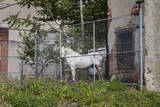White Horse Behind Chain Link Fence (Farm Animal in Urban Setting, Philadelphia) Wall Decal by Henri Silberman