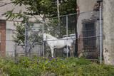 White Horse Behind Chain Link Fence (Farm Animal in Urban Setting, Philadelphia) Wall Decal by Henri Silberman