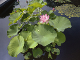 Lotus Blossom Brooklyn Botanic Gardens - Lily Pond Lotus Plant Wall Decal by Henri Silberman