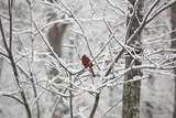 Cardinal on Snow Covered Trees Autocollant mural par Henri Silberman