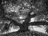 Under the Camperdown Elm Prospect Park Autocollant par Henri Silberman