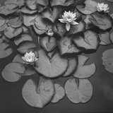 Water On Lily Pads - Brooklyn Botanic Gardens Muursticker van Henri Silberman
