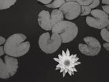 Star Water Lily Flower - Metal Print by Henri Silberman