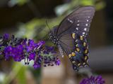 Butterfly on Butterfly Bush (Purple Flower with Insect) Muursticker van Henri Silberman