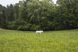 White Horse in Field with Trees Wall Decal by Henri Silberman