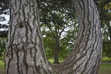 Tree Framed by a Tree Trunk, Horizontal Wall Decal by Henri Silberman