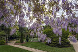 Purple Wisteria, Duke Gardens Autocollant mural par Henri Silberman