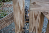 Doberman Pinscher Behind Fence (Dog, Close-Up) Wall Decal by Henri Silberman