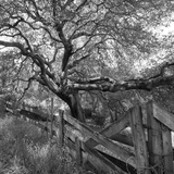Oak Tree and Fence 2 (Native Woodland, Oakland, CA, Black and White) Muursticker van Henri Silberman