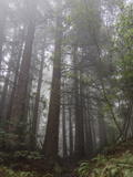 Redwood Trees in Fog (Northern California Landscape) Autocollant mural par Henri Silberman