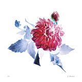 Surreal Dahlia Giclee Print by Kate Blacklock