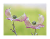 Pink Dogwood Blossoms I Giclee Print by Don Paulson