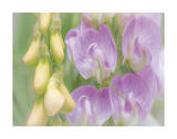 Sweet Pea Blossoms Giclee Print by Don Paulson