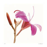 Pink Lily Giclee Print by Kate Blacklock