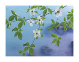 Dogwood Over River Giclee Print by Don Paulson