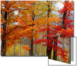 Autumn Sugar Maples, New Hampshire New England Prints by Vincent James
