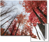 Late Autumn Tree Tops, New Hampshire Posters by Vincent James