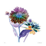 Rainbow Dahlia Giclee Print by Kate Blacklock