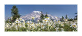 Avalanche Lilies Mount Ranier Giclee Print by Don Paulson