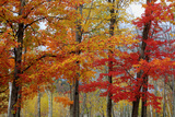 Autumn Sugar Maples, New Hampshire New England Photographic Print by Vincent James