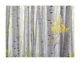 Aspen Trees I Giclee Print by Don Paulson