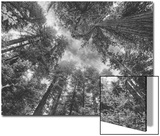 Enraptured by Trees, Redwood Coast California Plakat av Vincent James