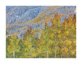 Aspen and Conifer Forest Giclee Print by Donald Paulson