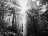 Light Explosion and Coast Redwood Trees, California Metal Print by Vincent James