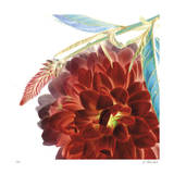 Fire Dahlia Giclee Print by Kate Blacklock
