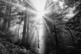 Light Explosion and Coast Redwood Trees, California Photographic Print by Vincent James