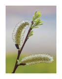 Pussy Willow Giclee Print by Don Paulson