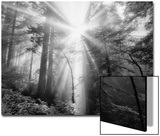 Light Explosion and Coast Redwood Trees, California Prints by Vincent James