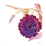 Violet Dahlia Giclee Print by Kate Blacklock