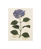 Hydrangea Premium Giclee Print by John Miller
