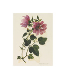 Tree Mallow Premium Giclee Print by John Miller