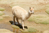 Llama in A Mountain Landscape, Peru Photographic Print by  demerzel21