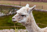Peruvian Llama. Farm of Llama,Alpaca,Vicuna in Peru,South America. Andean Animal.Llama is South Ame Photographic Print by  vitmark