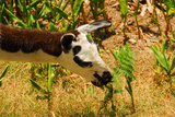 Grazing Llama in Peru Photographic Print by  demerzel21