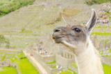 Llama in Machu Picchu Photographic Print by Elzbieta Sekowska