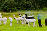 Llamas on Farm in Norway - Animal Nature Background Photographic Print by  Nik_Sorokin