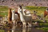 Llama in Argentina Reprodukcja zdjęcia autor Andrushko Galyna