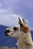 Face of a Llama or Alpaca Photographic Print by Rodrigo T