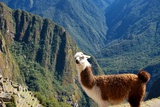 Llama above Macchu Picchu Photographic Print by  pamelasproof