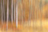 Autumn Birches Photographic Print by Ursula Abresch