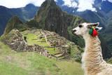 Llama at Historic Lost City of Machu Picchu - Peru Reprodukcja zdjęcia autor Yaro