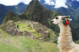 Llama at Historic Lost City of Machu Picchu - Peru Photographic Print by  Yaro