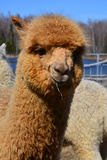 Alpaca Photographic Print by  meunierd