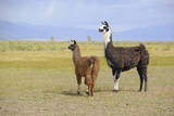 Llama in a Mountain Landscape Photographic Print by robert cicchetti